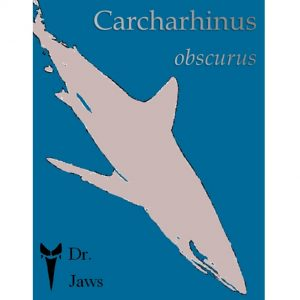 Dr Jawas-Carcharhinus obscurus